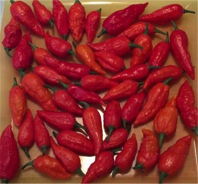 Fresh Bhut Jolokia Pods 20 Pounds