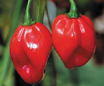 Fresh Scotch Bonnet Pods 20 Pounds