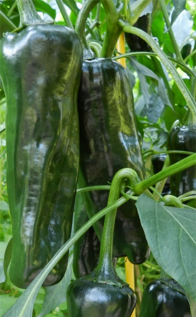 Pasilla Pepper Pods