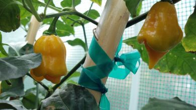 Fresh Trinidad Scorpion Yellow Cardi 1kg/2.2lb